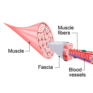 Muscle Anatomy | What is Fascia | moveOn 89